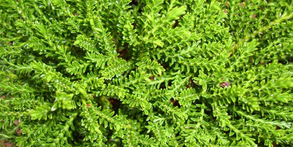Hebe - Véronique arbustive