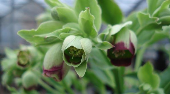 Hellébore foetidus
