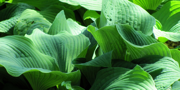 Hostas géants
