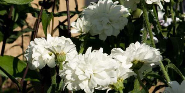 Leucanthemes