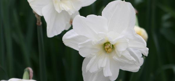 Narcisses à fleur d'orchidée