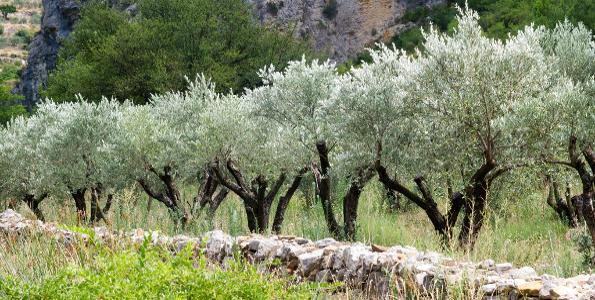 Olivier olea europea olives vertes olives noires for Jardin olivier
