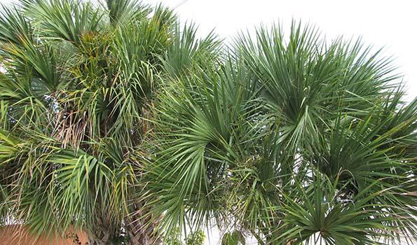 Palmiers par variété