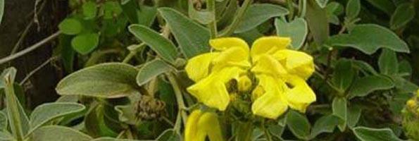 Phlomis arbustifs