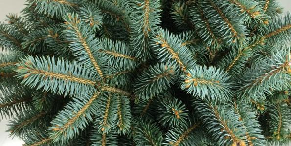 Picea (Epicéa)