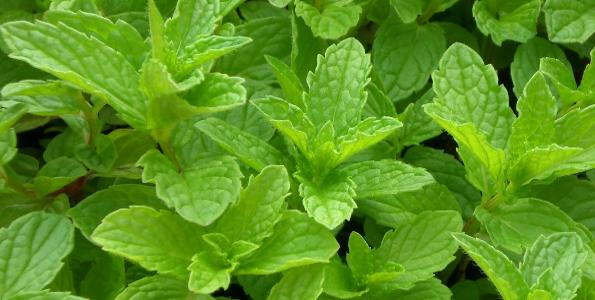 Plants de Menthe