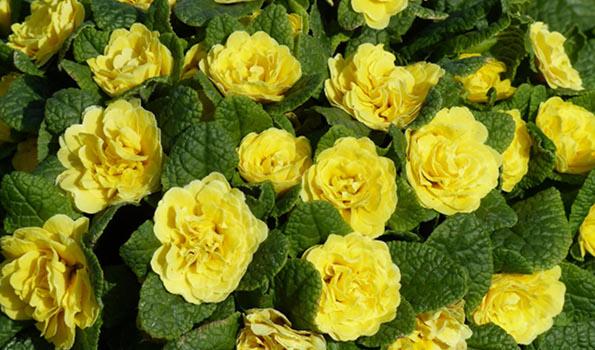 Annuelles à floraison printanière