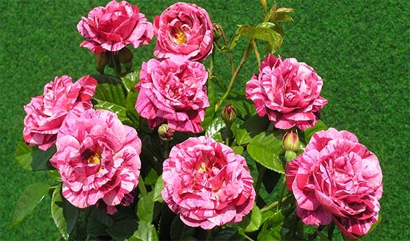 Rosiers hybrides remontants