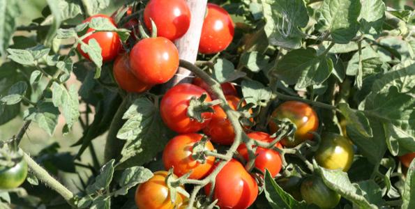Tomates cerise et cocktail