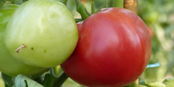 Graines de Tomates à fruits moyens