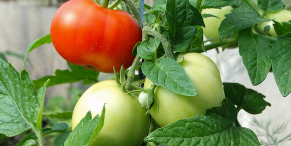 Plants de Tomates à fruits moyens