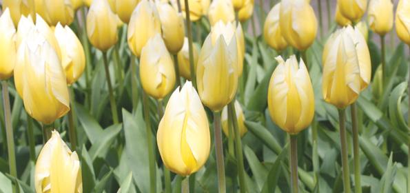 Tulipe Fosteriana