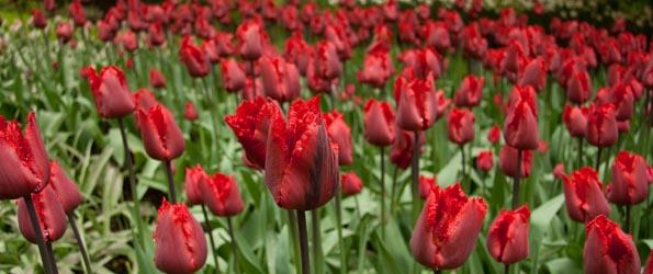 Tulipe Dentelée ou Frangée