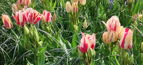Tulipe Pluriflore