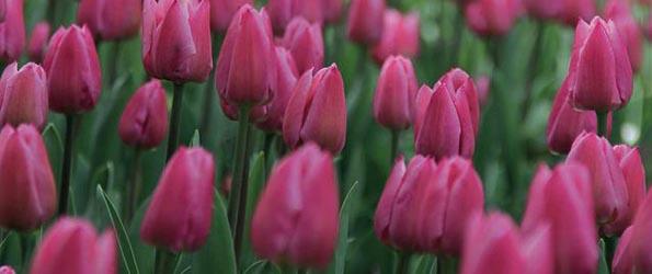 Tulipes simples