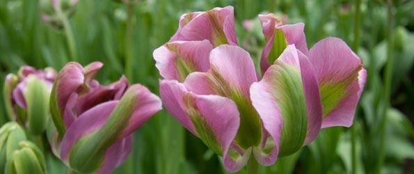 Tulipe Viridiflora