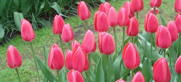 Tulipe Darwin hybride