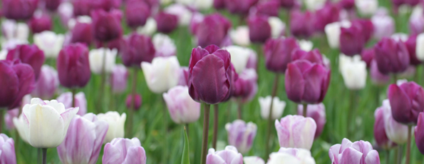 Tulipes par variété