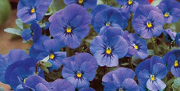 Graines de Violettes