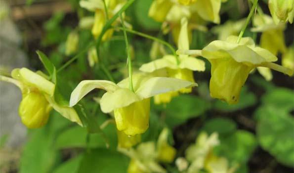 Plantes Vivaces A Fleurs Jaunes 300 Varietes A Commander En Ligne