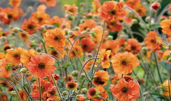 Plantes vivaces fleurs orange un large choix for Plantes a fleurs vivaces