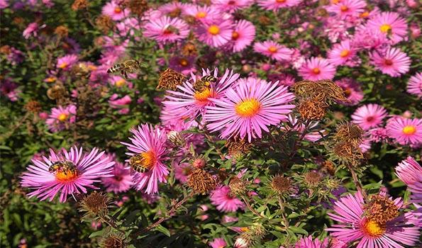 Plantes vivaces fleurs roses de 300 vari t s for Catalogue fleurs par correspondance