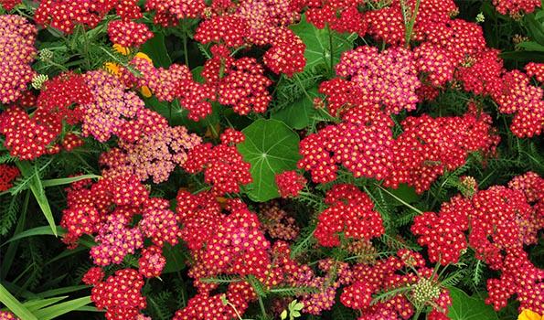 Vivaces à fleurs rouges