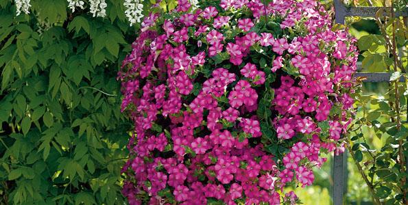 Annuelles à floraison tardive