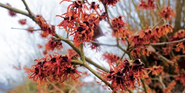 Arbustes à floraison automnale