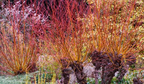 Arbustes à bois décoratif