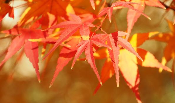 Arbustes à couleur d'automne