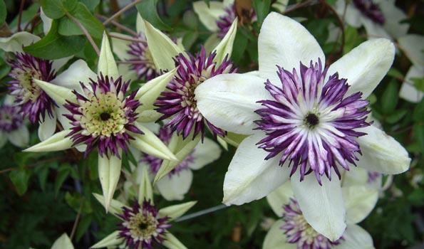 Clématites à floraison estivale