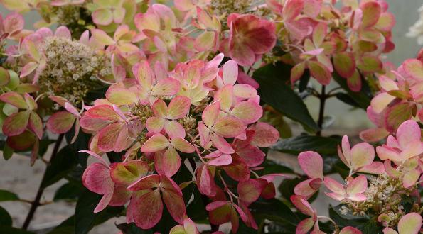 Les folies de promesse de fleurs arbustes et grimpantes for Promesse de fleurs