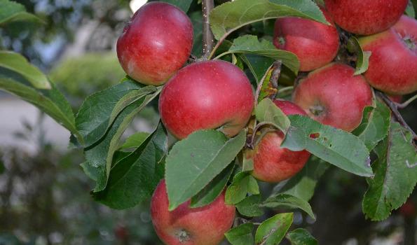 Fruitiers de A à Z