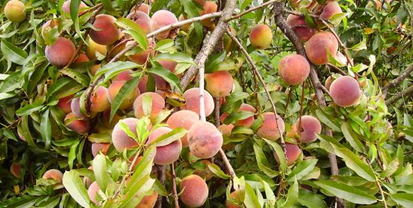 Fruitiers méditerranéens