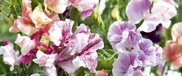 Graines de fleurs par variété