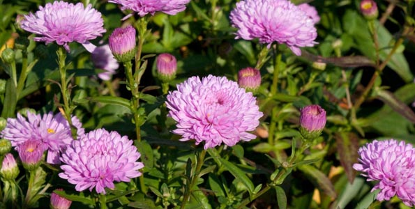Graines d'Asters