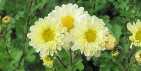 Graines de Chrysanthemes