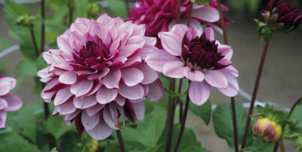 Graines de Dahlias