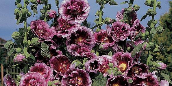 Graines de rose tremiere alcea - Graine rose tremiere ...