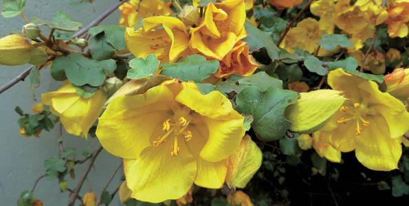 Grimpantes floraison estivale
