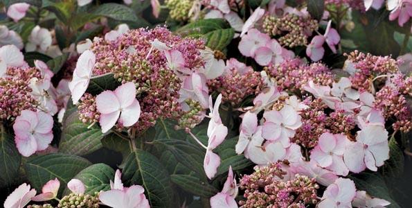 Hortensias fleurs plates