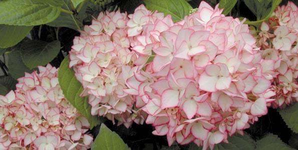 Hortensias par variété
