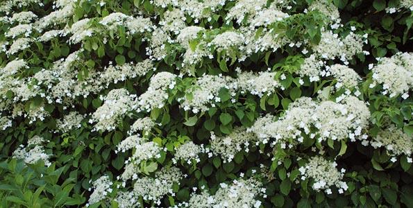 Hortensia Hydrangea anomala