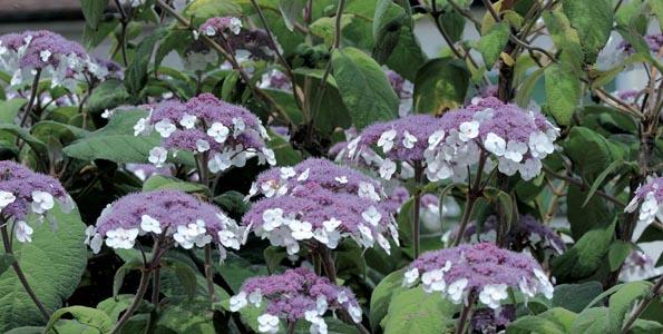 Hortensia Hydrangea aspera