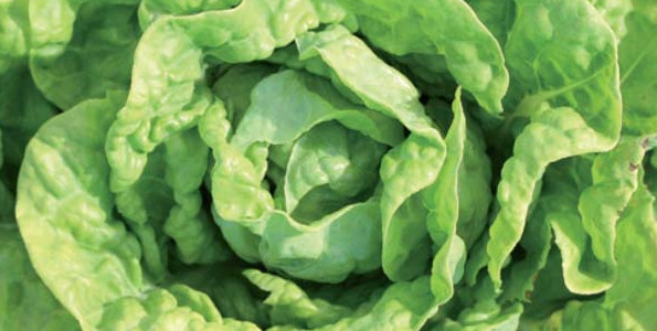 Salades, Laitues, Mâches Bio