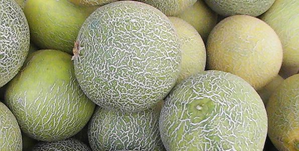 Graines de Melon