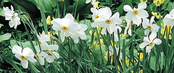 Narcisses botaniques