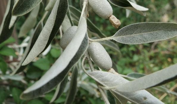 Plantes méditerranéennes par variété