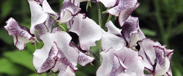 Graines de fleurs parfumées
